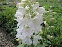 Delphinium Magic Fountains Pure White - 9cm pot