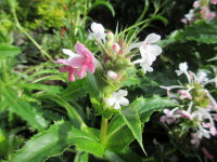 Morina longifolia - 9cm pot