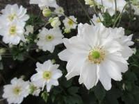 Anemone x hybrida Whirlwind - 9cm pot