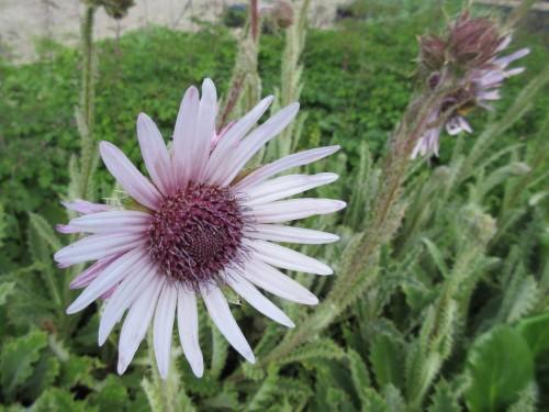 Berkheya purpurea - 9cm pot