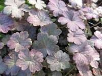 Geranium Dusky Crug - 9cm pot