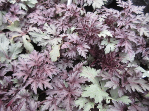 Artemisia lactiflora Guizhou Group Dark Delight - 9cm pot