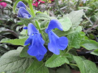 Salvia patens Patio Deep Blue - 1 litre pot