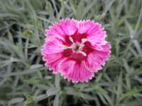 Dianthus Supernova - 9cm pot
