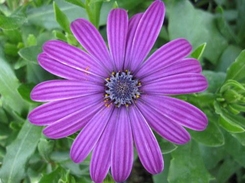 Osteospermum Tresco Purple (Nairobi Purple) - 2 litre pot