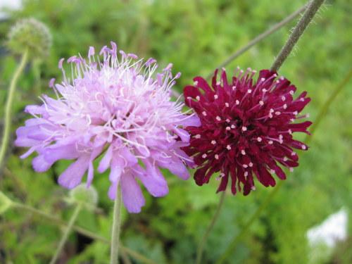Knautia macedonica Melton pastels - 2 litre pot