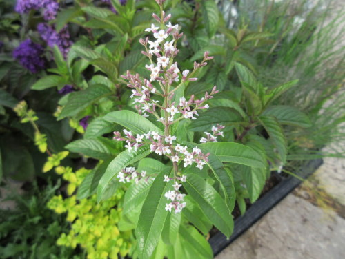 Lemon Scented Verbena Pictures