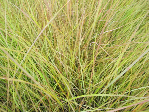 Anemanthele lessoniana (Stipa arundinacea) - 9cm pot