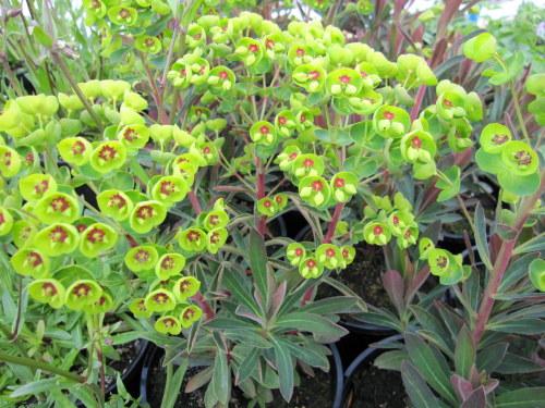 Euphorbia x martinii - 9cm pot
