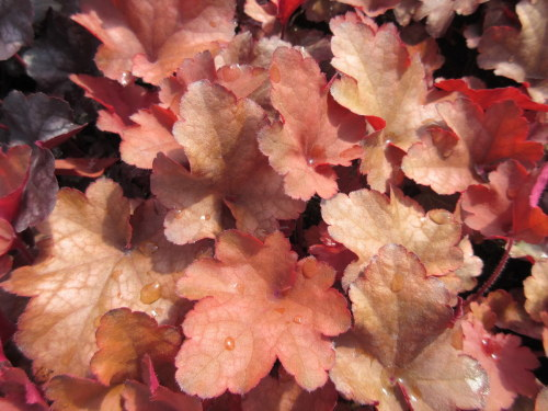 Heuchera Cranberry (Indian Summer Series) - 9cm pot