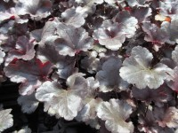 Heuchera Black Pearl - 9cm pot