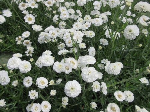Achillea ptarmica The Pearl - 2 litre pot