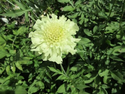 Cephalaria gigantea - 9cm pot