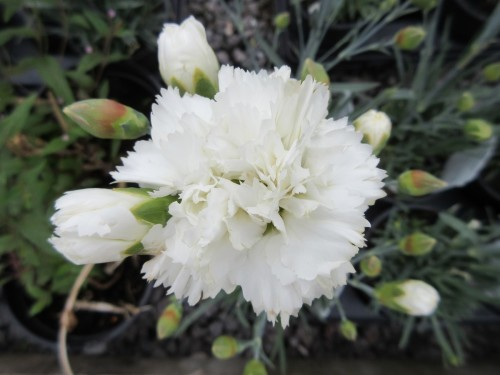 Dianthus Memories - 1 litre pot