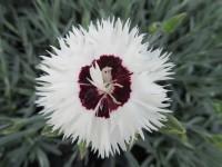 Dianthus Stargazer - 9cm pot
