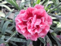 Dianthus Sugar Plum - 1 litre pot