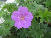 Geranium Blushing Turtle - 2 litre pot