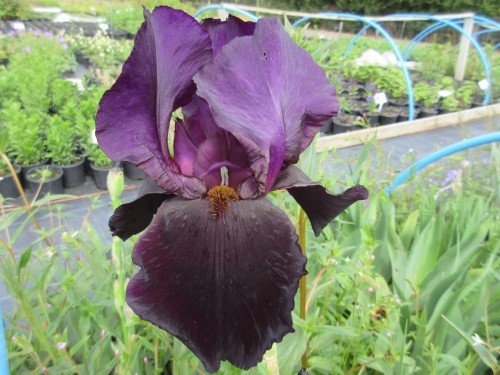 Iris Black Swan (Tall Bearded) - 9cm pot