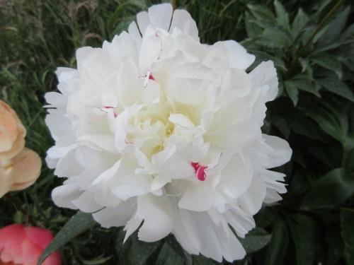 Paeonia lactiflora Festiva Maxima - 3 litre pot