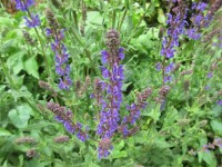 Salvia x sylvestris Mainacht - 9cm pot