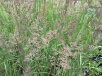 Calamagrostis x acutiflora Karl Foerster - 9cm pot