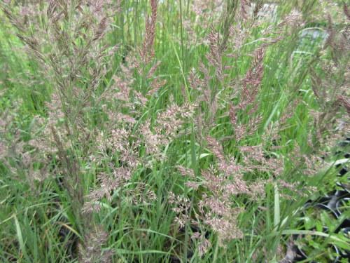 Calamagrostis x acutiflora Karl Foerster - 2 litre pot