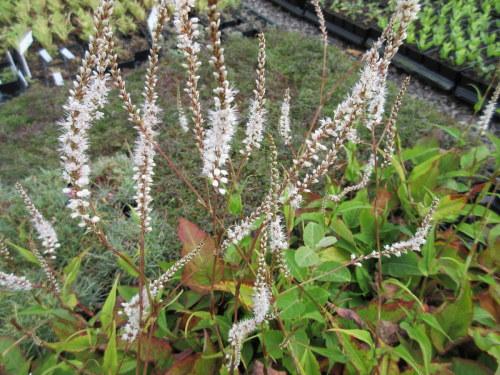 Persicaria amplexicaulis Alba - 9cm pot