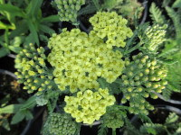 Achillea Sunny Seduction (Seduction Series) - 2 litre pot