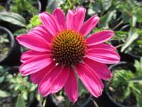 Echinacea SunSeekers Magenta - 2 litre pot