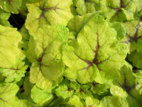 Heucherella Catching Fire - 9cm pot