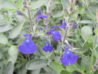Salvia Blue Note - 9cm pot