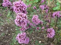 Origanum laevigatum Herrenhausen - 9cm pot