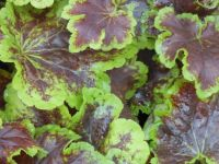 Heucherella Solar Eclipse - 2 litre pot