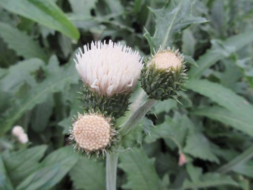 Cirsium rivulare Frosted Magic - 9cm pot