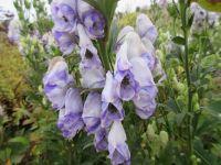 Aconitum carmichaelii (Arendsii Group) Cloudy - 2 litre pot