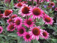 Echinacea purpurea Fatal Attraction - 9cm pot
