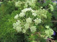 Selinum wallichianum - 9cm pot
