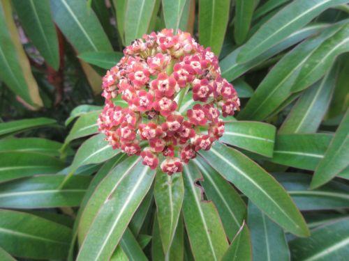 Euphorbia mellifera - 9cm pot