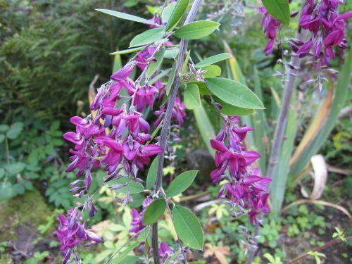 Lespedeza thunbergii - 3 litre pot