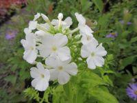 Phlox paniculata White Admiral - 2 litre pot