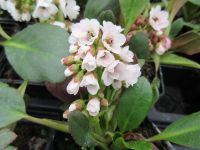 Bergenia Angel Kiss (Dragonfly Series) - 9cm pot