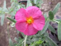 Helianthemum Ben Hope - 9cm pot