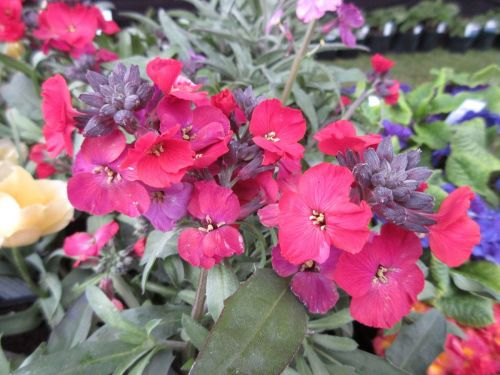 Erysimum Red Jep - 1 litre pot