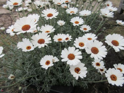 Rhodanthemum Casablanca - 1 litre pot