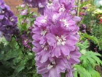 Delphinium Magic Fountains Lilac Pink with White Bee - 2 litre pot