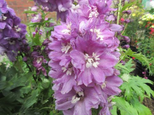 Delphinium Magic Fountains Deep Rose with White Bee - 2 litre pot