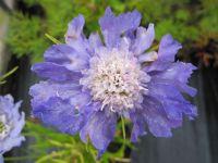 Scabiosa caucasica Perfecta Blue - 9cm pot