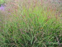 Panicum virgatum Shenandoah - 2 litre pot