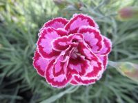 Dianthus Moulin Rouge - 9cm pot