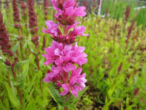 Lythrum salicaria Robert - 9cm pot